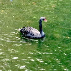 Black swans in St James Park