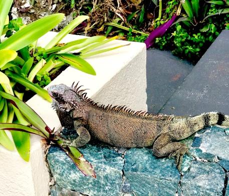 One of the many iguanas on St. Thomas