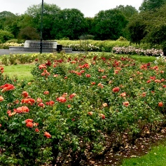 Rose Garden in Tralee